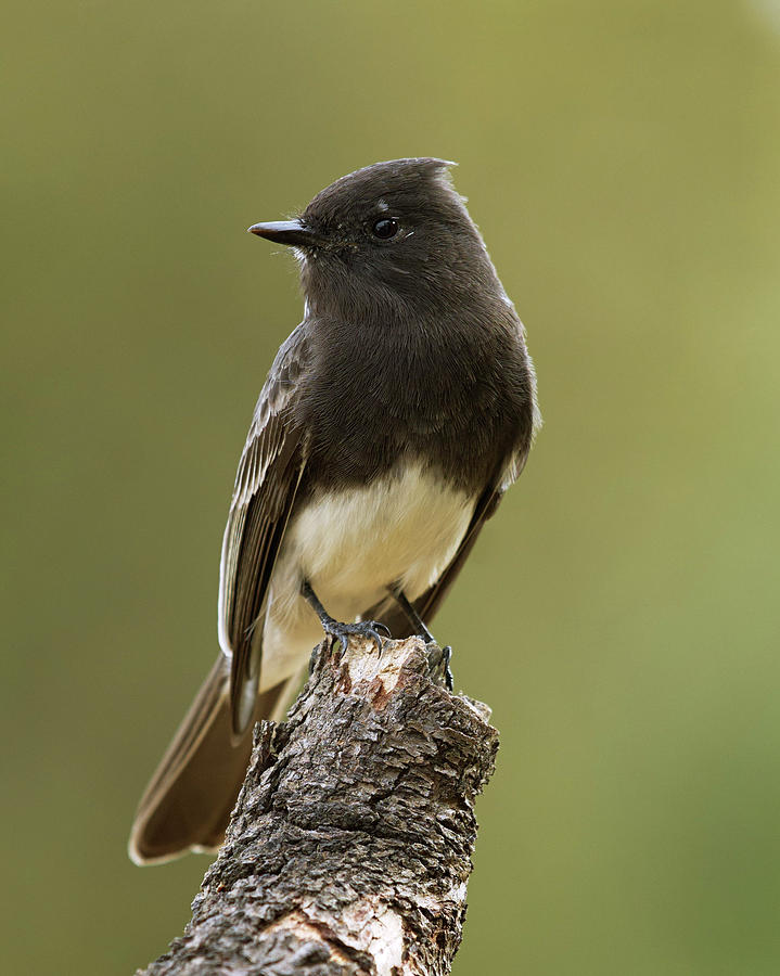 Birds Photograph - Black Phoebe by Doug Herr