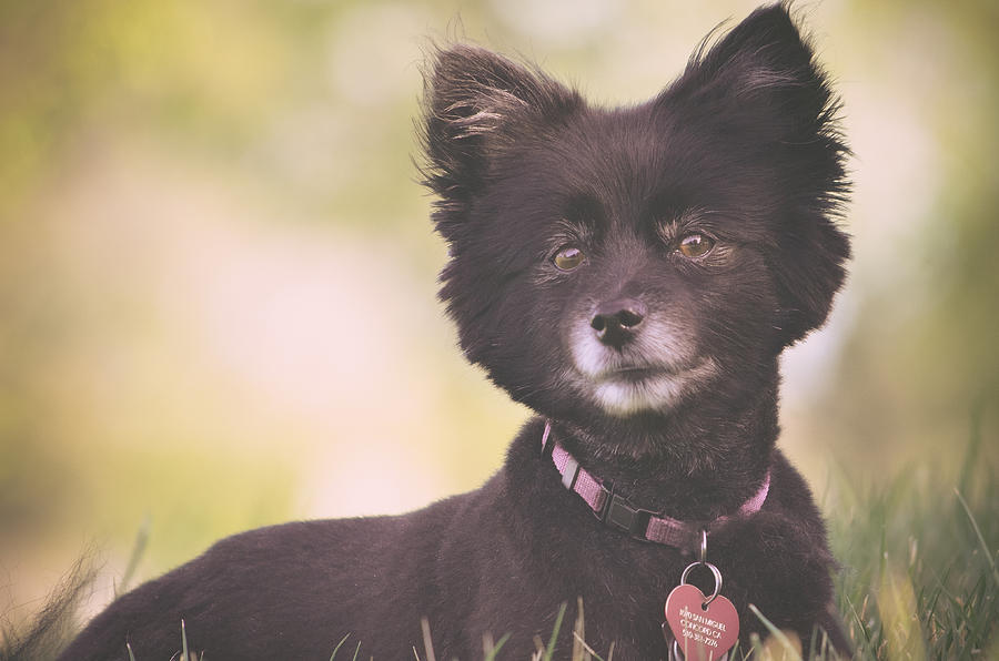 Black Pomeranian Dog With Summer Haircut In Grass Photograph By Lynn