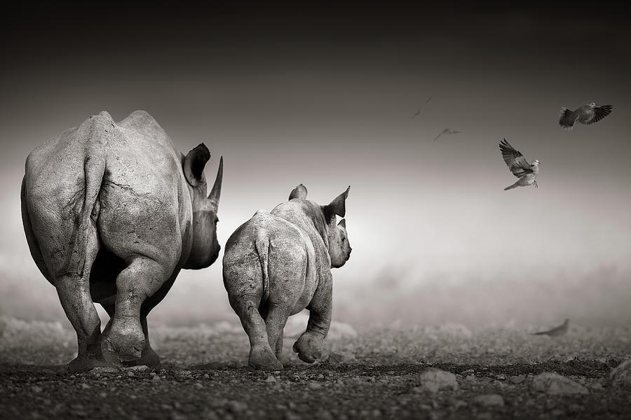 Black Rhino Cow With Calf Photograph