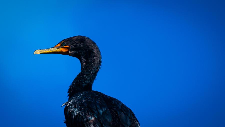 Black Sea Bird Cape Cod Photograph By Troy Deterra