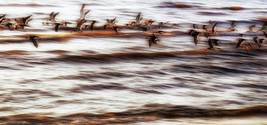 Long Beach Photograph - Black Skimmers Of Long Beach - Mississippi - Birds by Jason Politte