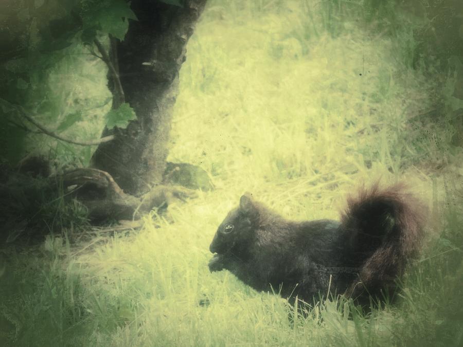 Black Squirrel Photograph