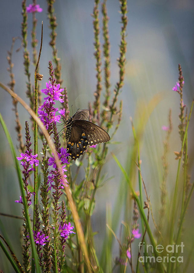 Black Swallowtail Butterfly by Brad Marzolf Photography