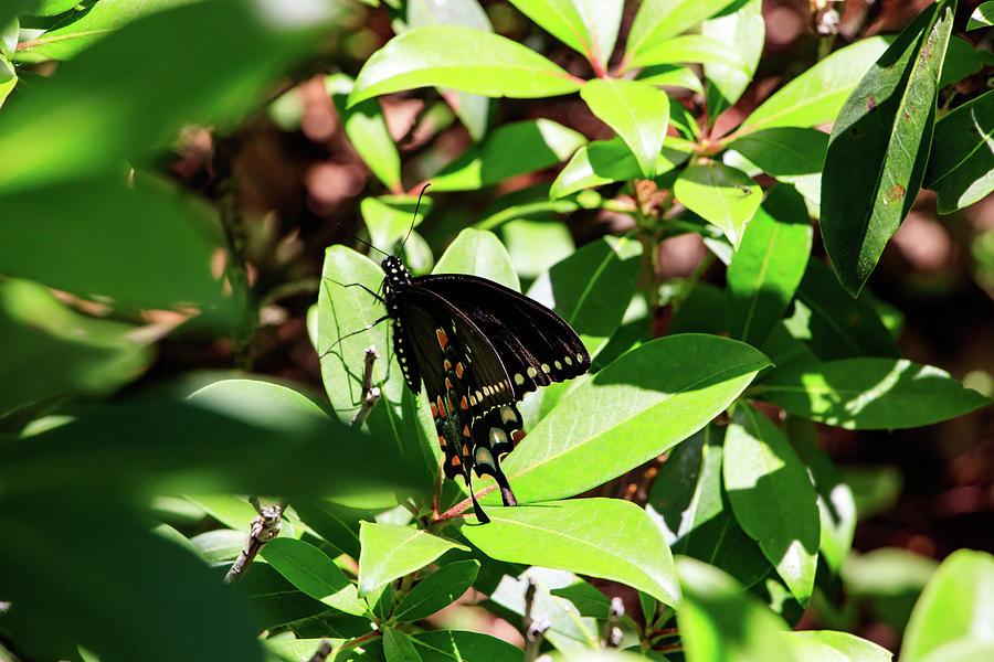 Black Swallowtail Butterfly by Natural Vista Photography - Matt Sexton