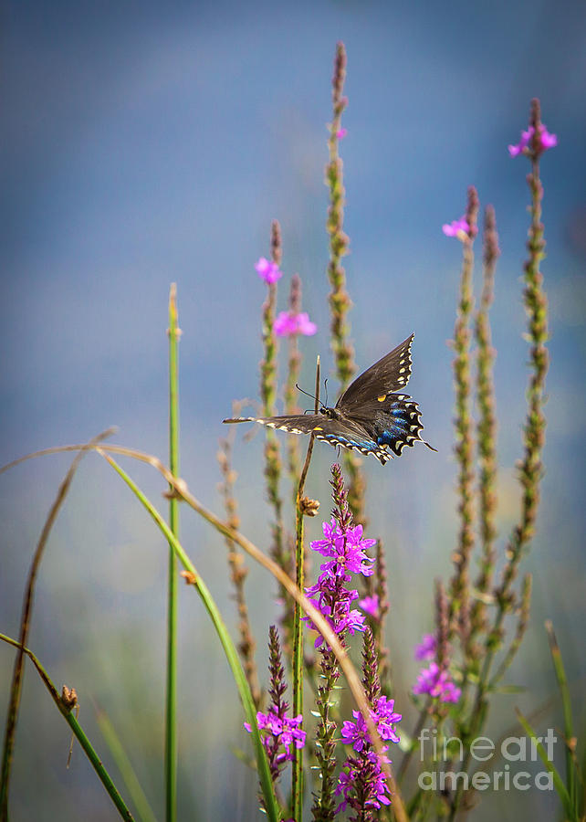 Black Swallowtail Butterfly on Beach by Brad Marzolf Photography