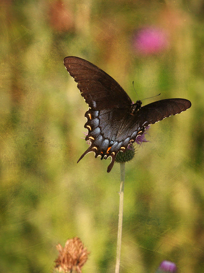 Butterfly Photograph - Black Swallowtail by Charles McKelroy