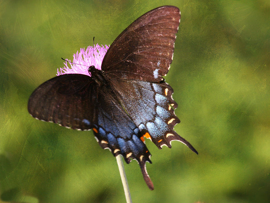 Butterfly Photograph - Black Swallowtail II by Charles McKelroy