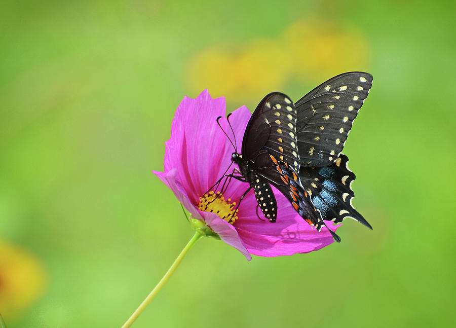 Black Swallowtail on a Cosmos by Rodney Campbell