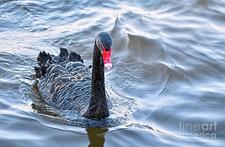Black Swan Photograph - Black Swan 3 by Kaye Menner