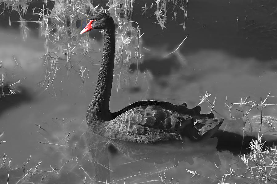 Swan Photograph - Black Swan by Donna Kennedy