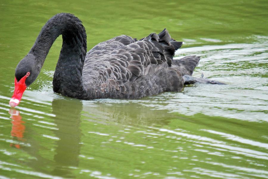 Blanton Photograph - Black Swan by Teresa Blanton