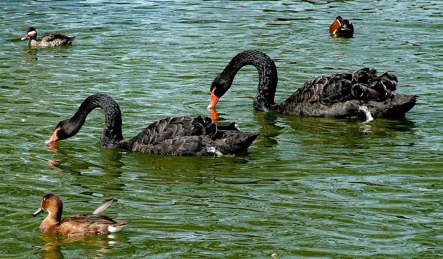 Swans Photograph - Black Swans by Martina Fagan