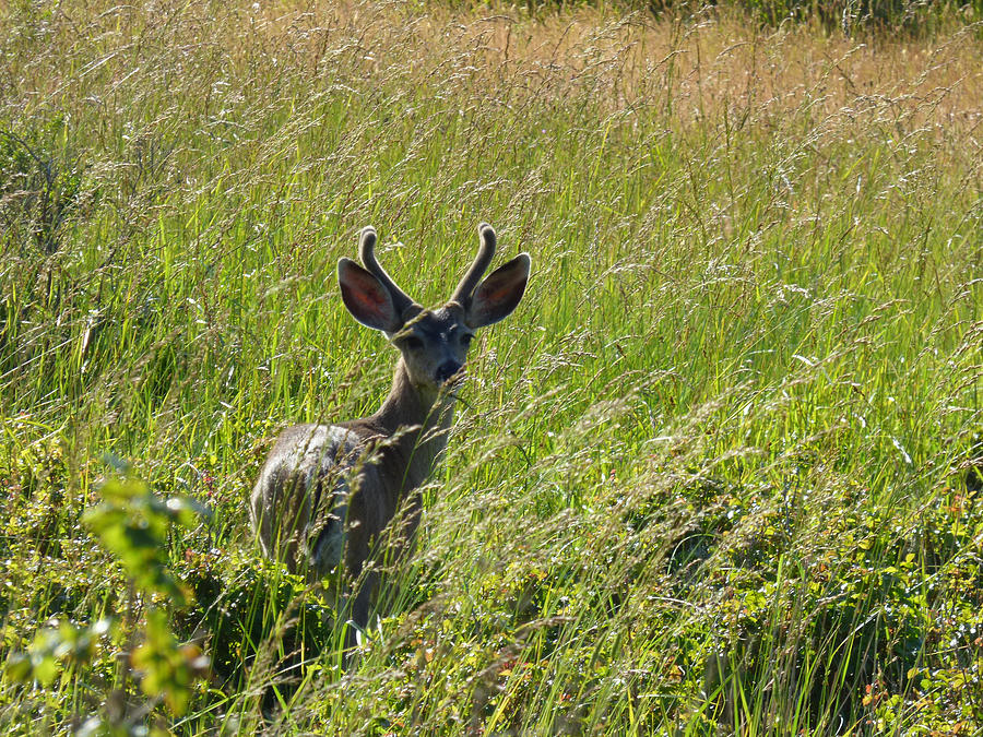 Wildlife Photograph - Black-tailed Deer In Tall Meadow Grass by Andrea Freeman