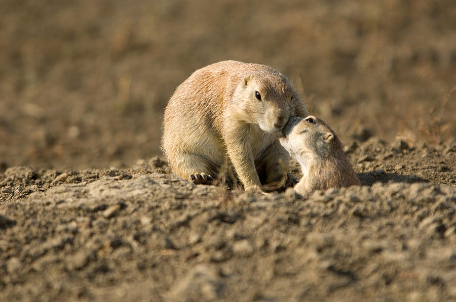 Nobody Photograph - Black-tailed Prairie Dogs In Eastern by Joel Sartore