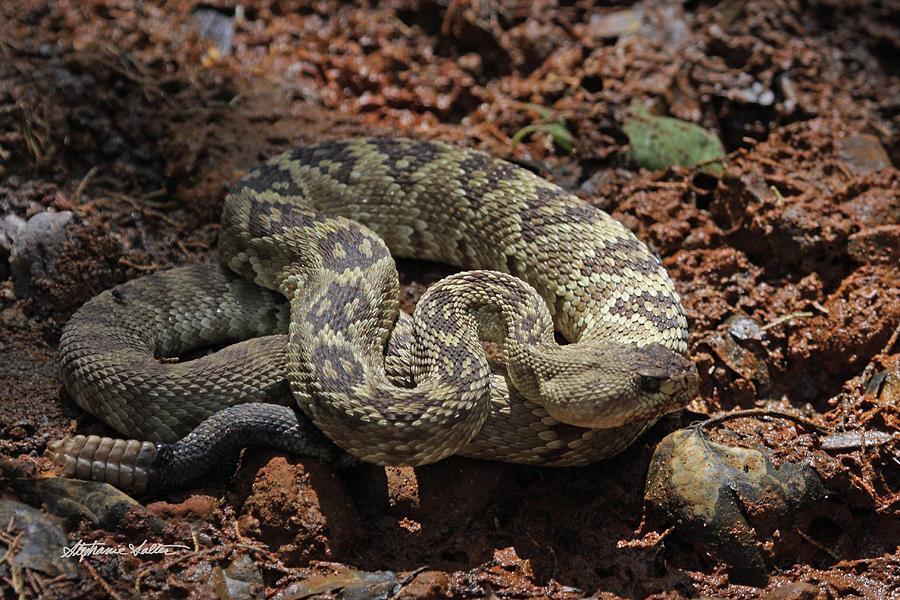 Black-tailed Rattlesnake by Stephanie Salter