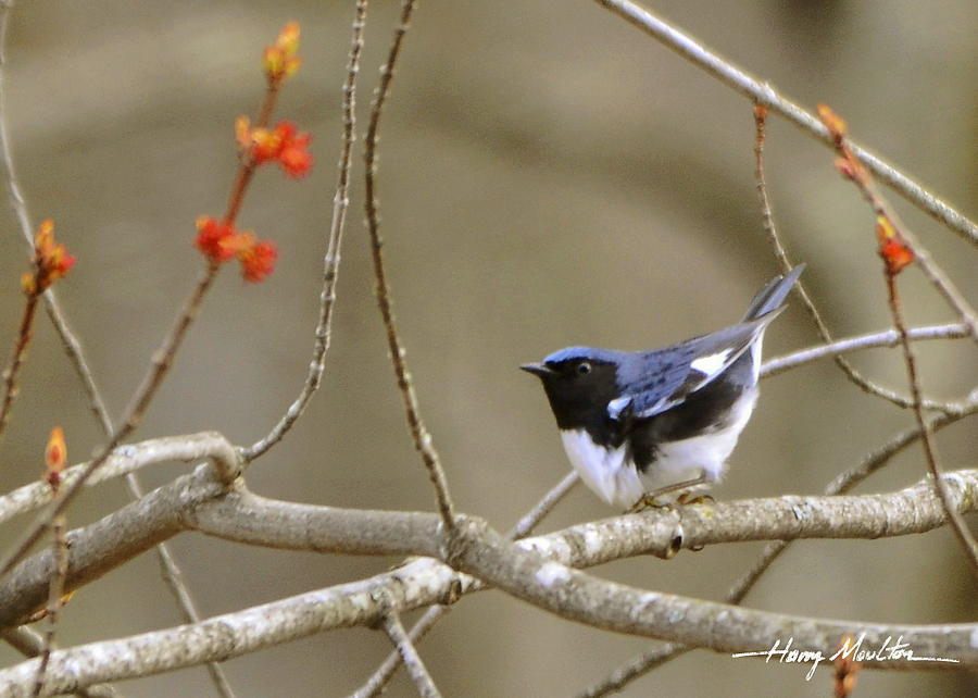 Black-throated Blue Warbler by Harry Moulton