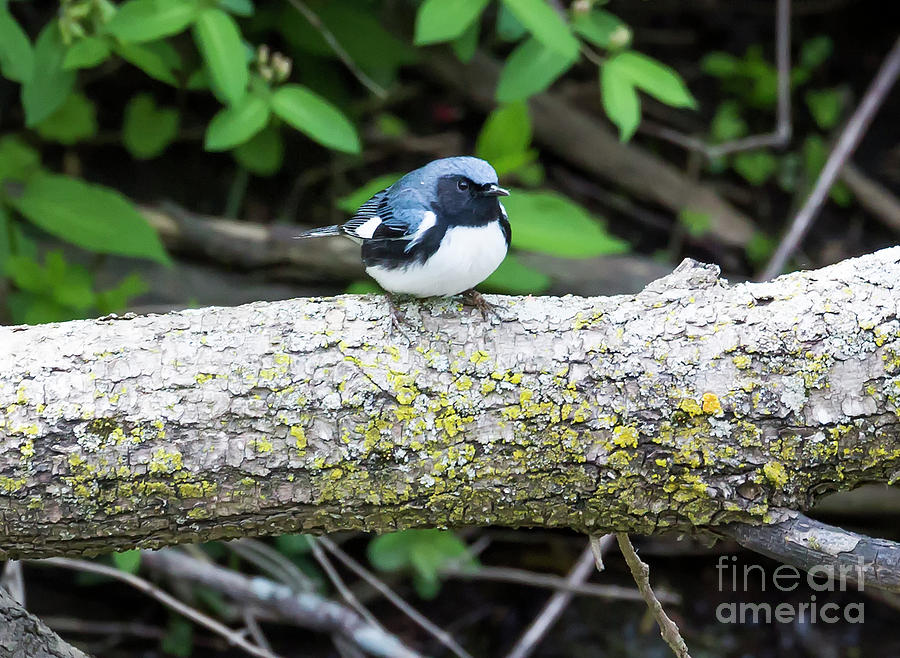 Canon Photograph - Black-throated Blue Warbler by Ricky L Jones