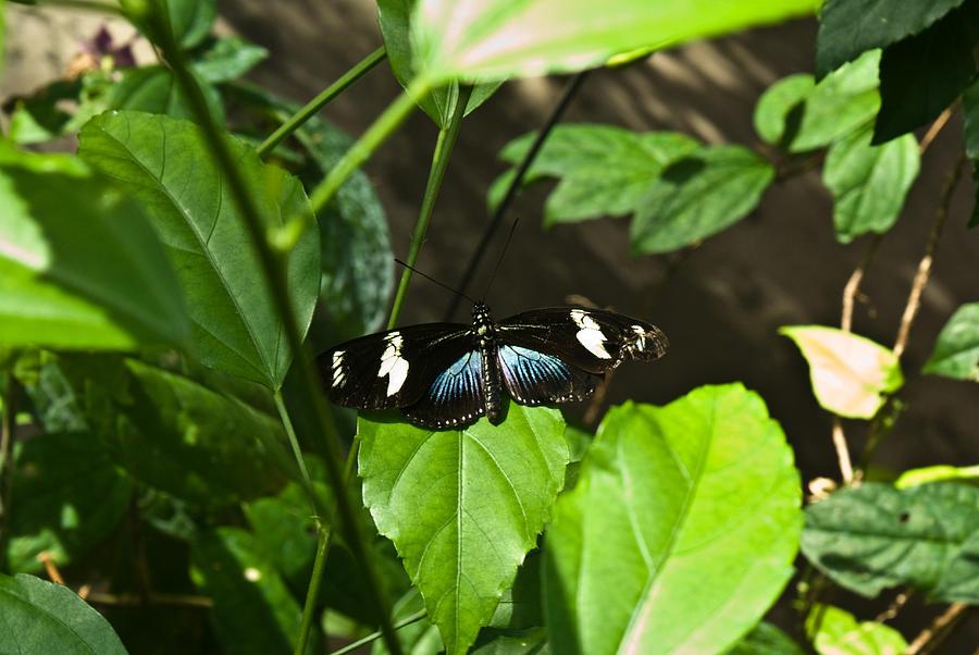 Black Photograph - Black Tropical Butterfly by Douglas Barnett