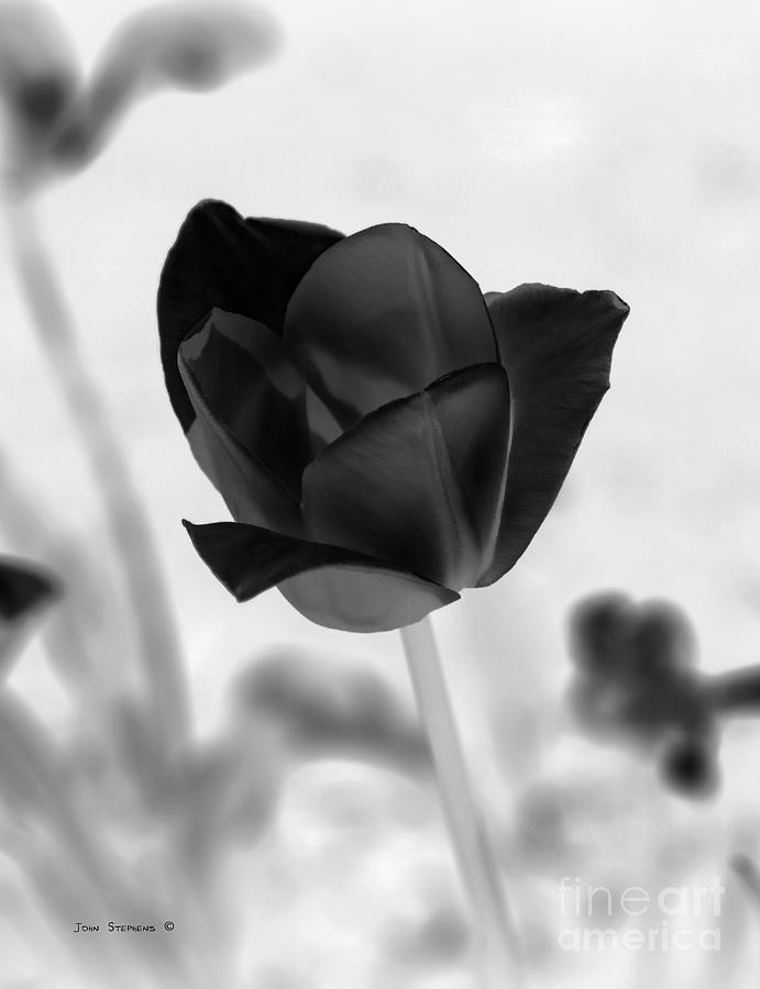Mourning Tulip Photograph