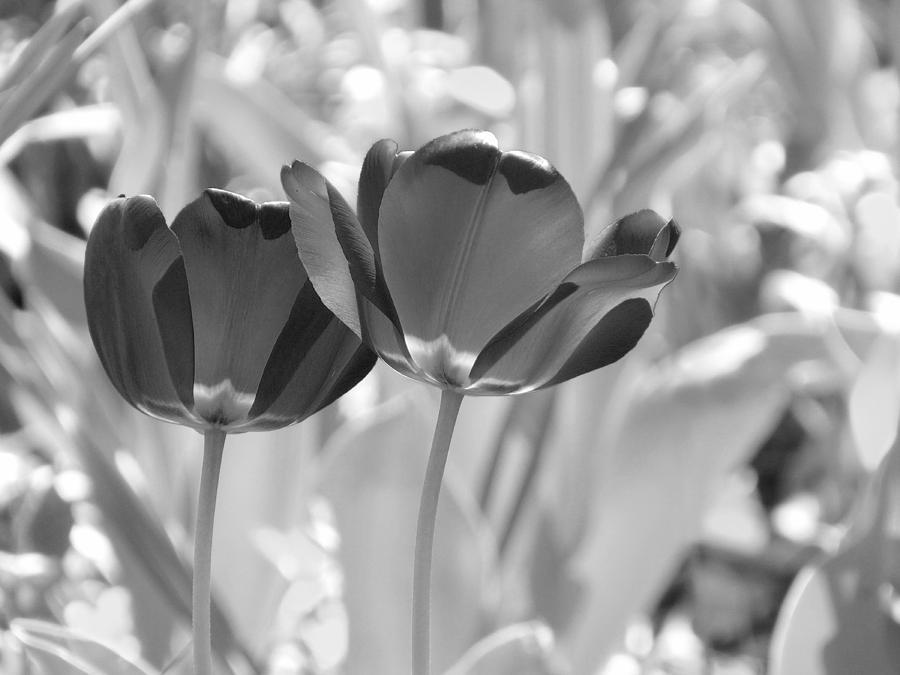 Tulips Photograph - Black Tulips by Nina Bradica