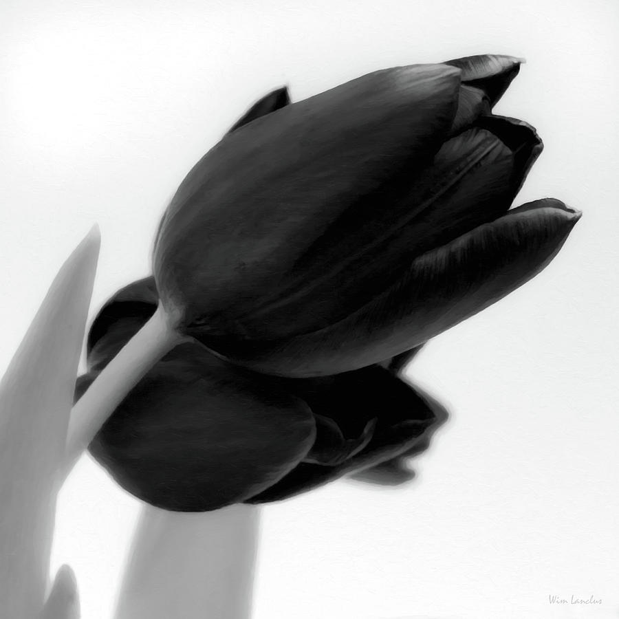 Tulips Photograph - Black Tulips by Wim Lanclus