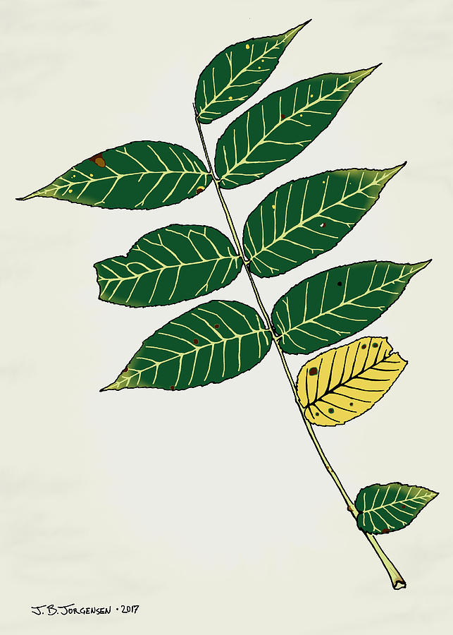 Leaf Drawing - Black Walnut Leaf Illustration by Jamie Jorgensen