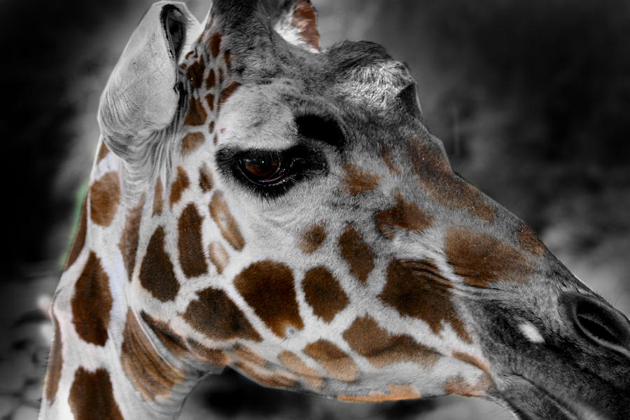 Giraffe Photograph - Black  White And Color Giraffe by Anthony Jones