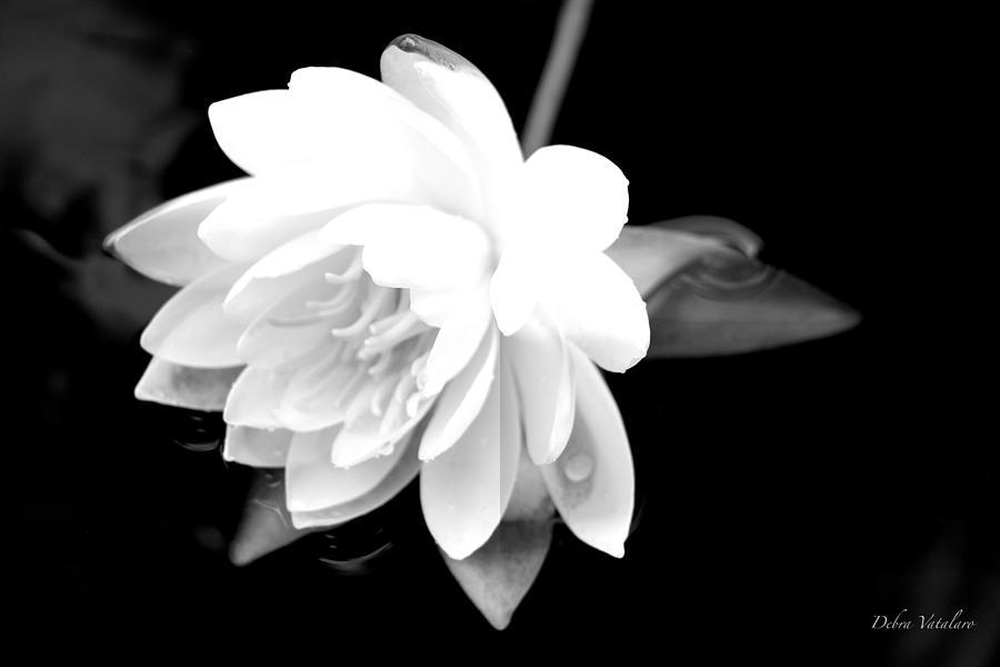Black/white Lotus Photograph