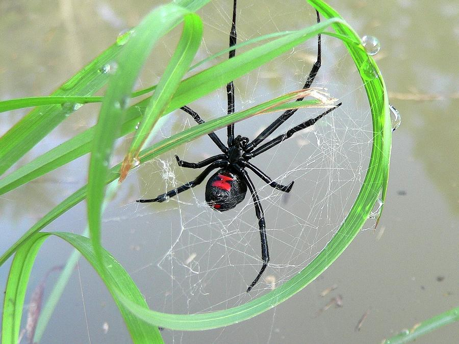 Spider Photograph - Black Widow Wheel by Al Powell Photography USA