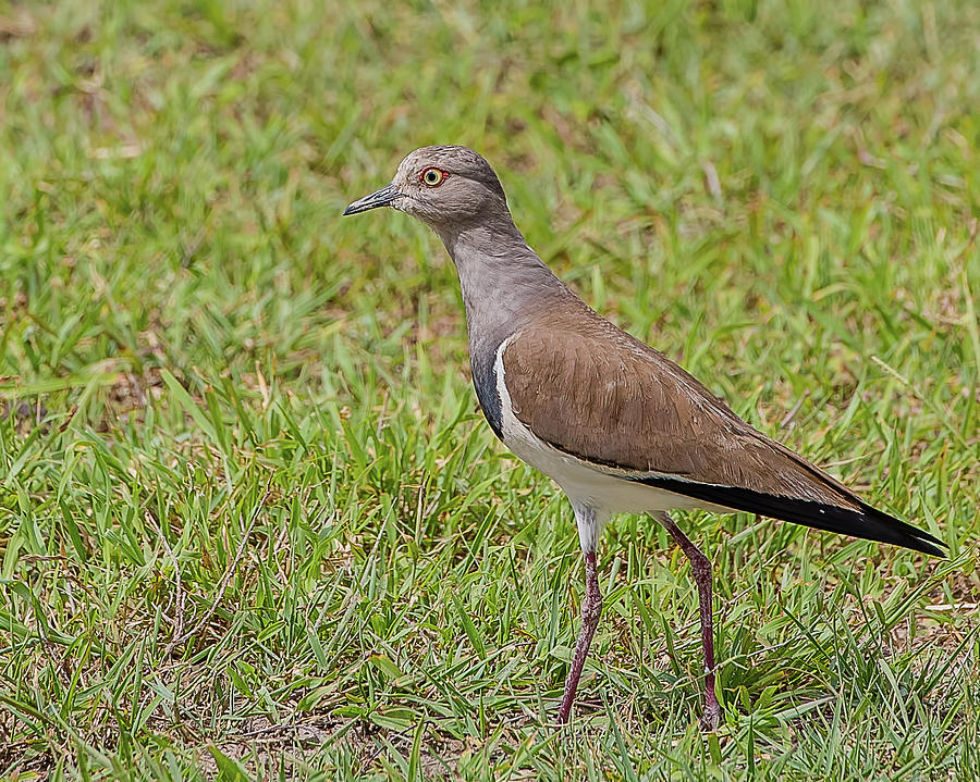 Plover Photograph - Black-winged Plover by Morris Finkelstein