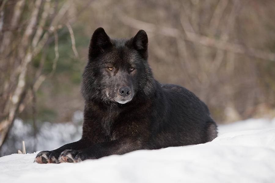 Adult Photograph - Black Wolf by John Hyde - Printscapes