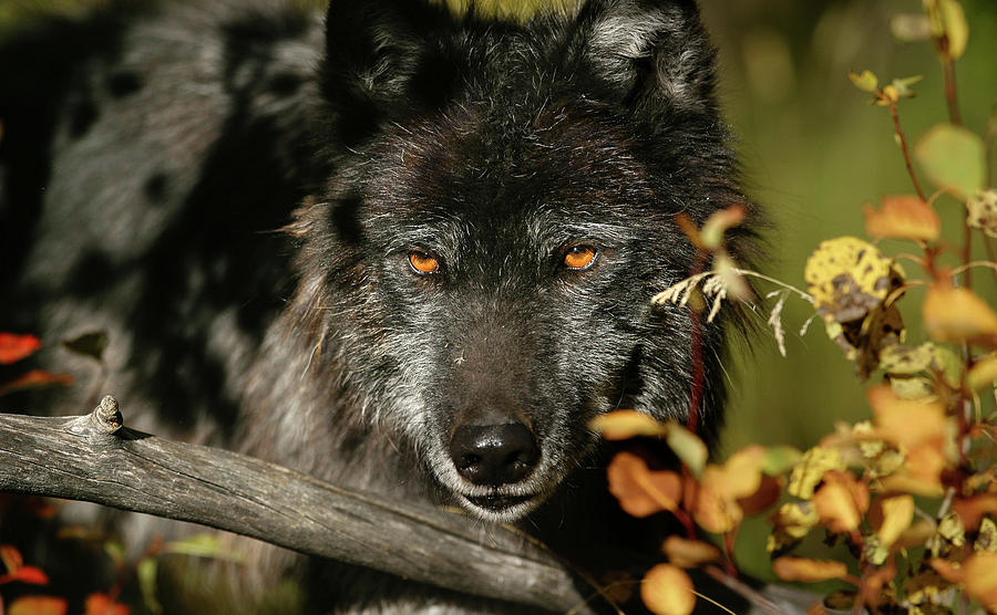 примерила фото волка с вишней данные изображения, сможете