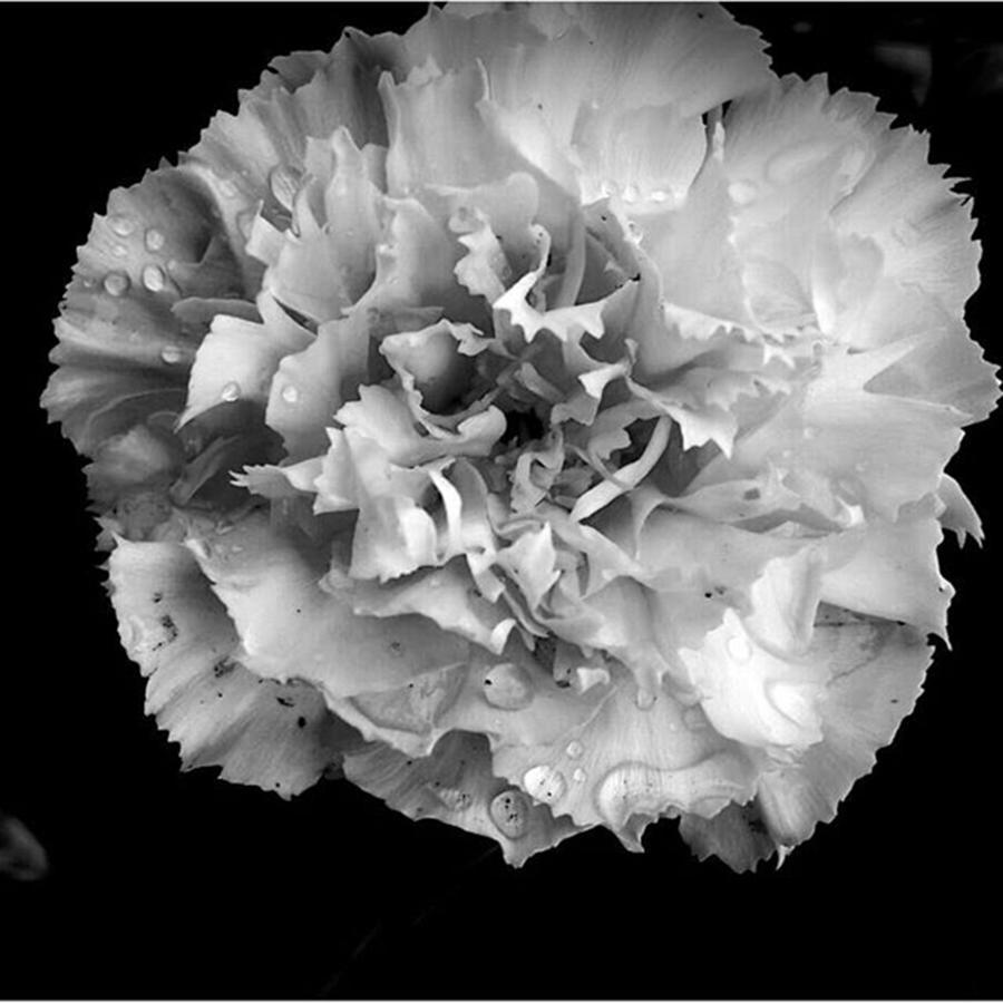 Blackandwhite Carnation Flowers Photograph By Marina Tchamitchian