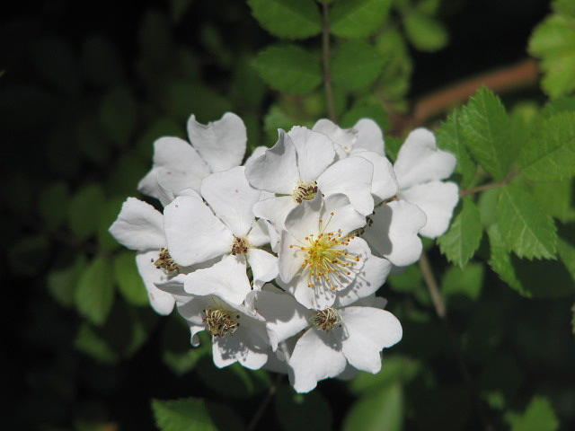 Flower Photograph - Blackberry by Libby  Cagle