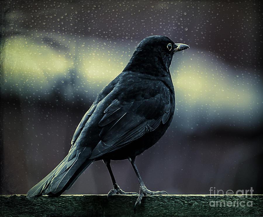 Bird Photograph - Blackbird by Adrian Evans