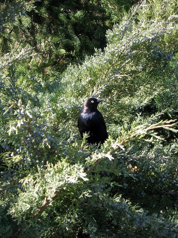 Bird Photograph - Blackbird by Ashley Cauvel