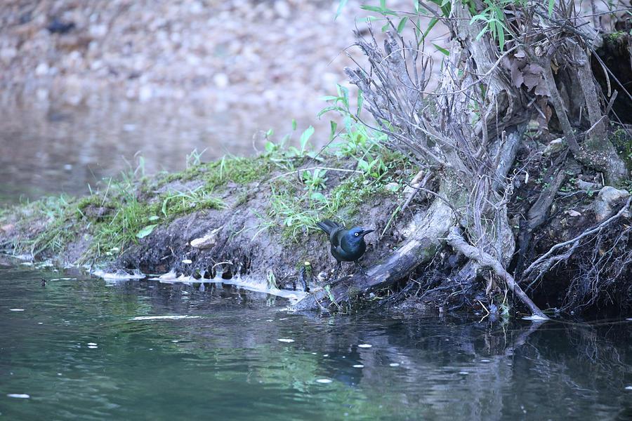 Blackbird At Waters Edge Photograph
