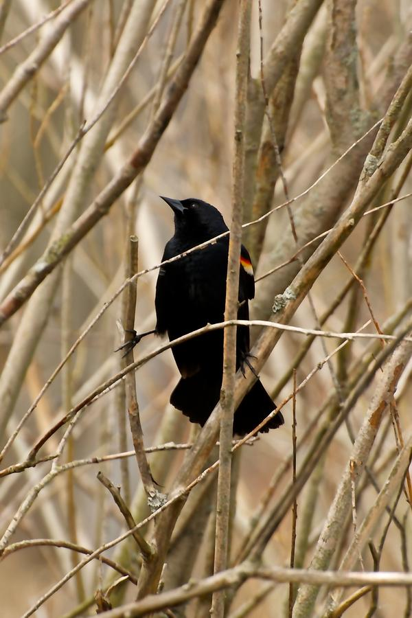 Blackbird Photograph