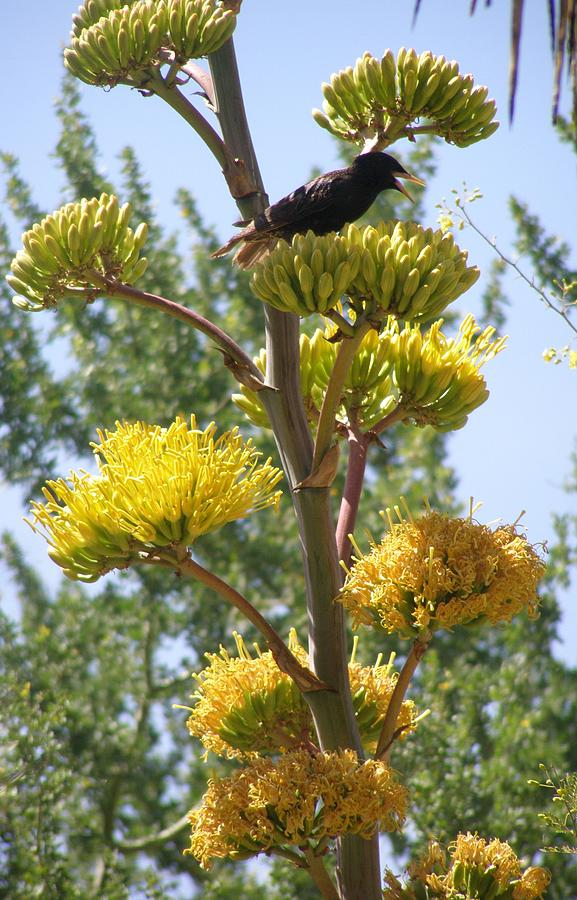 Bird Photograph - Blackbird Singing by Jeanette Oberholtzer
