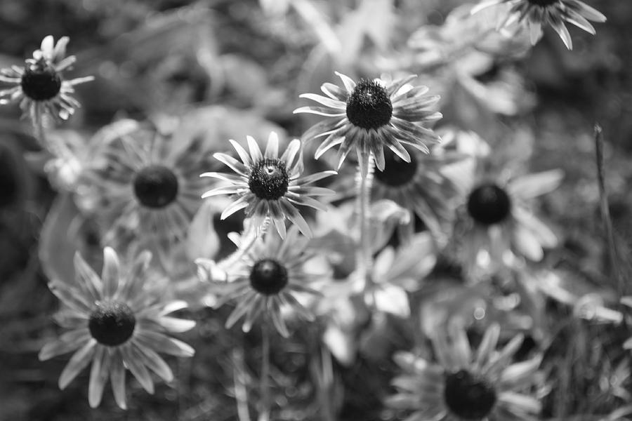 Flowers Photograph - Blackeyed Susans In Black And White by Paula Coley