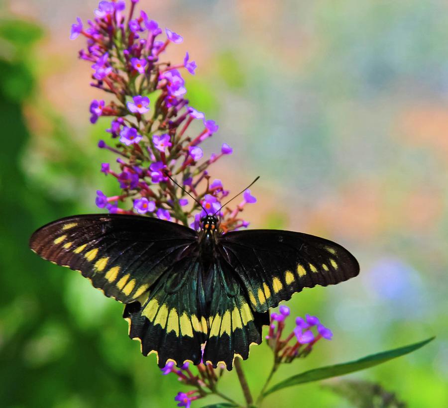 blackie butterfly by Rochelle Berman
