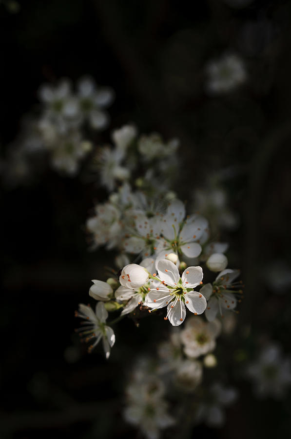 Blackthorn flowers by David Isaacson