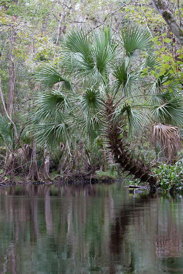 Blackwater Creek Palm Photograph