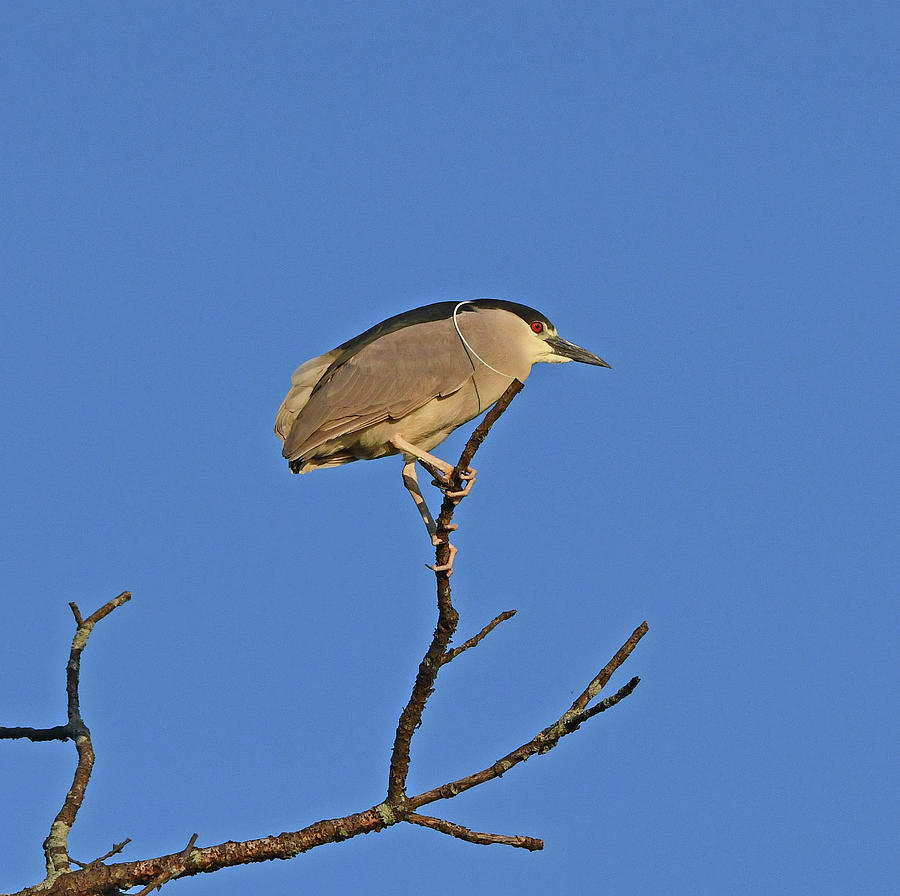 Black-crowned Night Heron by Ken Stampfer