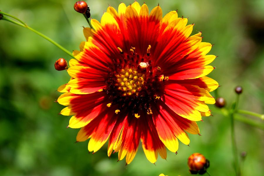 Flower Photograph - Blaze Of Glory by David Dunham