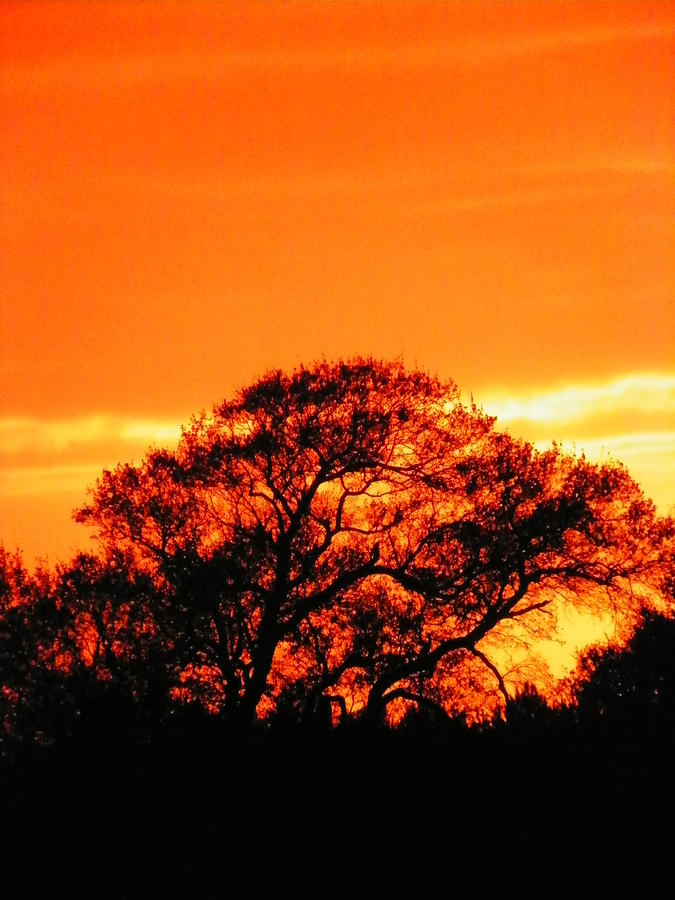 Trees Photograph - Blazing Oak Tree by Karen Wiles