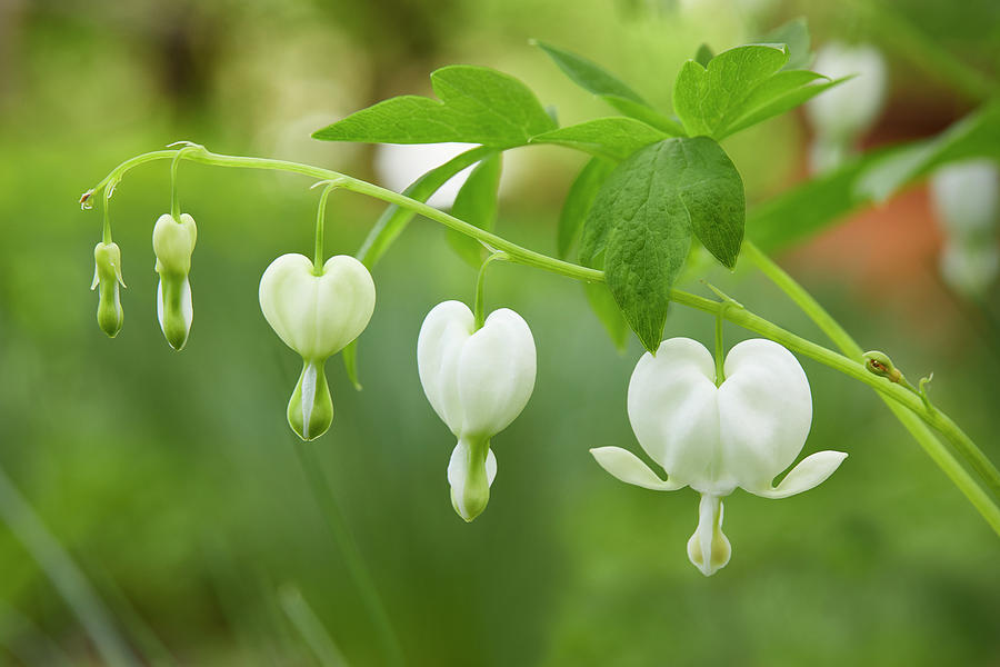 Bleeding Heart by Garden Gate