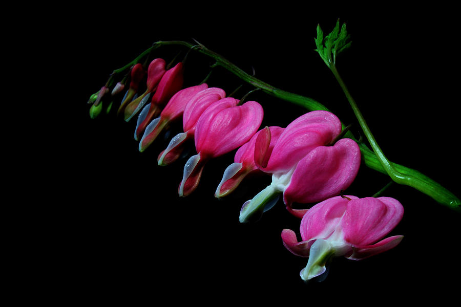 Nature Photograph - Bleeding Hearts 2011-1 by Robert Morin