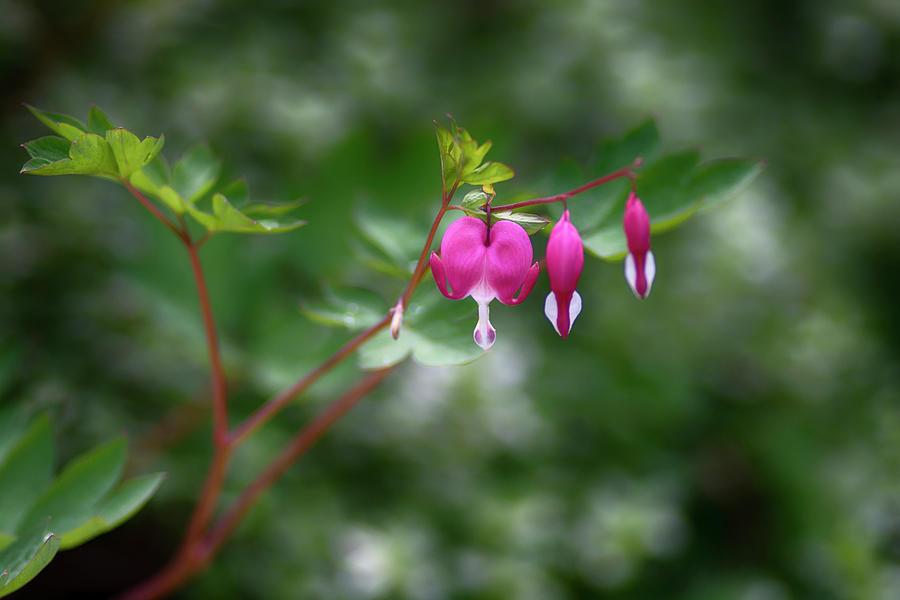 bleeding hearts by Dan Hefle