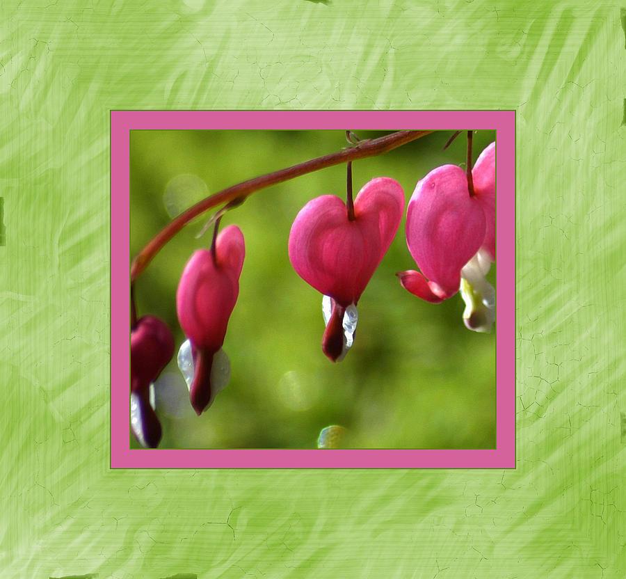 Flower Photograph - Bleeding Hearts by Lori Seaman